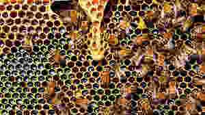 Kemigiganten Bayer roser nu en ny rapport, der viser, at en af dens insektgifte kan være skadelig for bier. Foto: Pixabay
