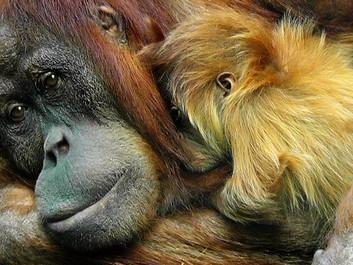 """""""Orangutangen uddør i naturen i løbet af 10 år"""""""