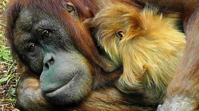 Rydning af regnskoven i forbindelse med produktionen af palmeolie er med til at udrydde orangutangen. Foto: Pixabay