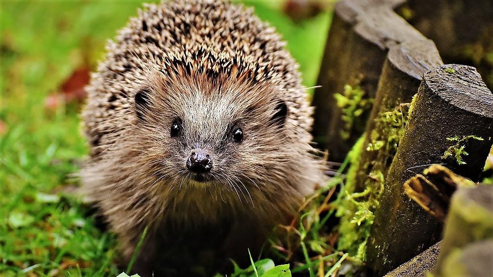 Pas på med huller i haven og plæneklippere - det kan være rene dødsfælder for pindsvin. Foto: Pixabay