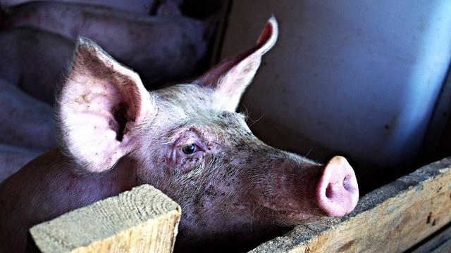 Dyrenes Beskyttelse er imod Venstres forslag om, at landbruget i Silkeborg Kommune i stigende grad skal advares inden kontrolbesøg. Foto: Pixabay