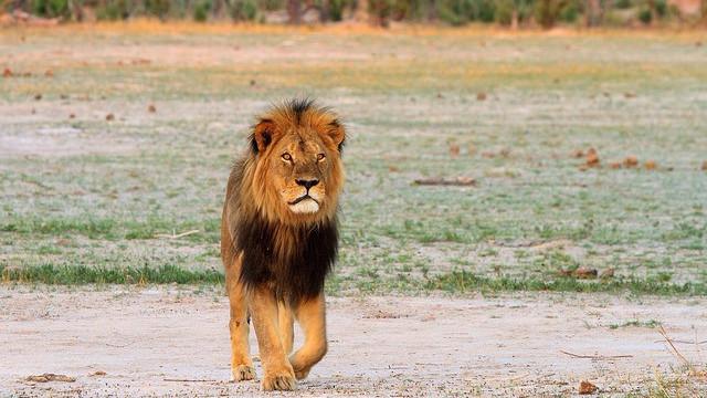 Løven Cecil blev dræbt i begyndelsen af juli af den amerikanske tandlæge Walter Palmer. Foto: paulafrenchp/flickr