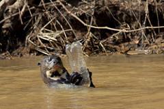 Plastaffald har også indflydelse på dyrelivet, bl.a. kan dyr blive kvalt i det. Her en odder med en plastflaske. Foto: Paul Williams/flickr