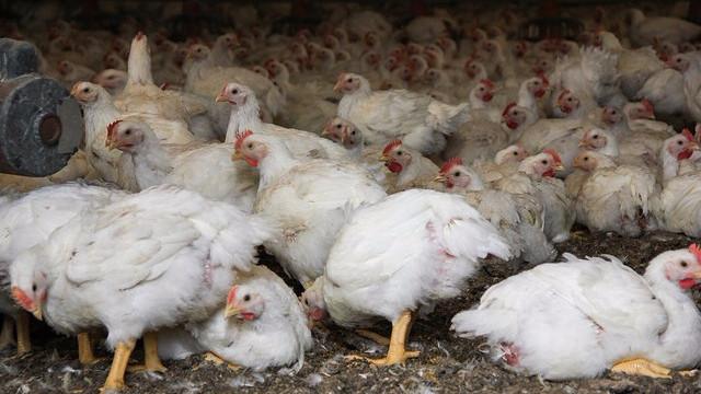 Antibiotikaforbruget til fjerkræ er mere end fordoblet på to år. Foto: Chesapeake Bay Programme/flick