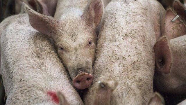 Svineproduktionen i Danmark har de største velfærdsmæssige problemer, viser en ny rapport. Foto: Pixabay