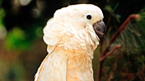Ædelpapegøjen – en anden af de papegøje-arter, der blev handlet ulovligt i Danmarks hidtil største sag om handel med truede dyr. Ædelpapegøjen er optaget på IUCN-rødlisten over truede dyr. (Foto: Martin Harvey/WWF-Canon)