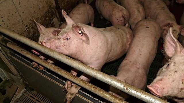 Lidl ønsker, at grisene får mere plads i staldene, så de ikke giver hinanden smertefulde halebid. Foto: Pixabay