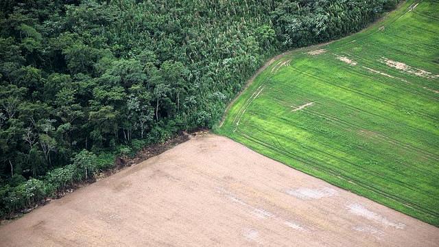 Græsningsarealer samt dyrkningen af foder til dyr i kødproduktionen er den primære årsag til rydning af regnskoven. Foto: Sam Beebe/flickr
