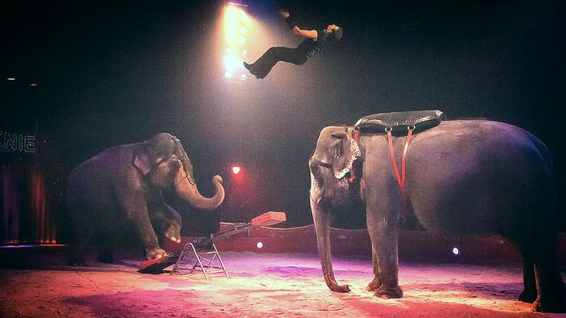 Fra og med næste år skal elefanter ikke længere medvirke i Cirkus Knies forestillinger. Foto: Sandu Antonescu/flickr
