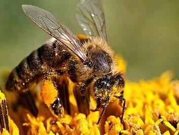 Omfattende studie finder klar sammenhæng mellem pesticider og biers død