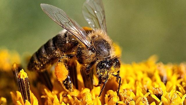 Et nyt studie har fundet en klar sammenhæng mellem kollapsede bikolonier og eksponeringen af insektgifte. Foto: Pixabay