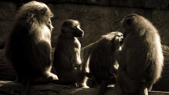 De australske skatteborgere betaler for dyreforsøg med primater, men myndighederne forsøger at dække over detaljerne af forsøgene. Foto: Pixabay