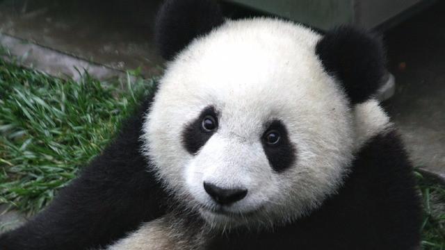 Pandabjørnens eksistens er truet på grund af klimaforandringerne, lyder det i en ny rapport fra WWF. Foto: Pixabay