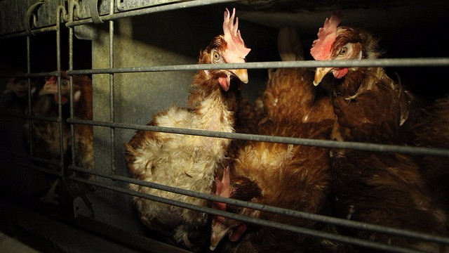 Lidl har beslutte sig for at fjerne buræg fra hylderne i sine butikker. Foto: Farm Watch/flickr