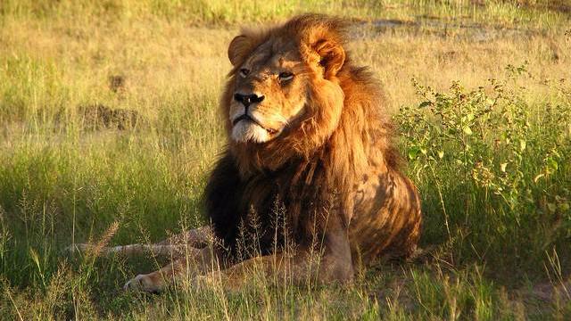 Efter drabet på løven Cecil ønsker flere amerikanske senatorer at skærpe lovigvningen om import af dyretrofæer. Foto: Daughter#3/flickr