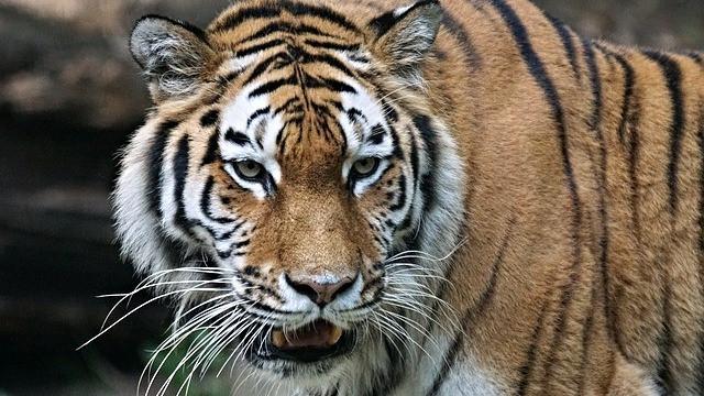 Tigeren er blandt de landpattedyr, der er truet af menneskets jagt, viser et nyt studie. Foto: Pixabay