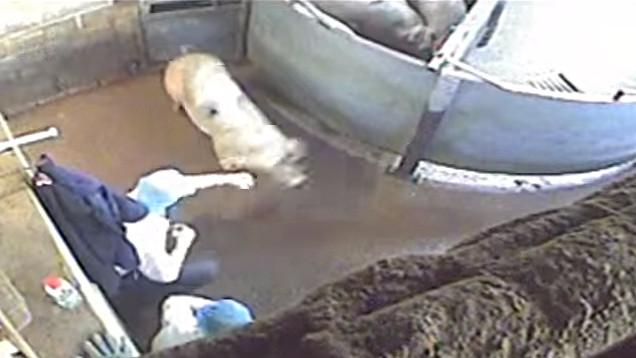 Billedet her viser en slagterimedarbejder, der slår et svin med en knytnæve. Foto: Screenshot/YouTube/Animal Aid