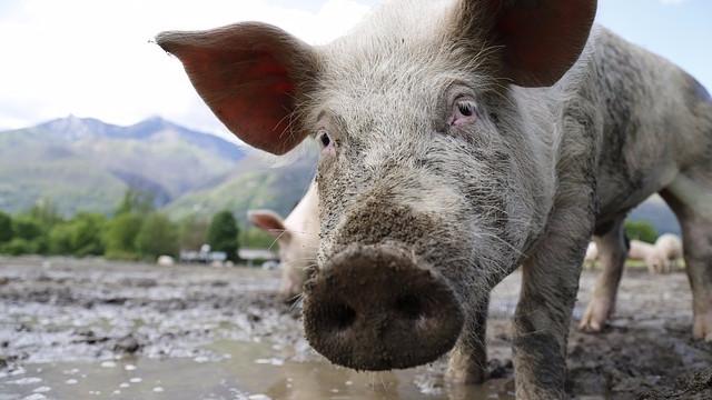 Der er stigende efterspørgsel på produkter fra dyr med højere dyrevelfærd. Foto: Pixabay
