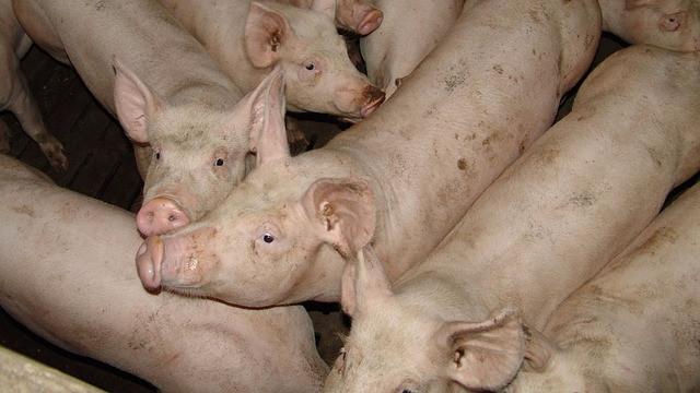 Landbrugselever fortæller i en ny rapport om oplevelser med dyremishandling. Foto: Pixabay