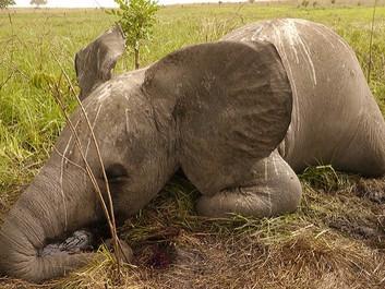 EU har blokeret for at styrke beskyttelsen af elefanten