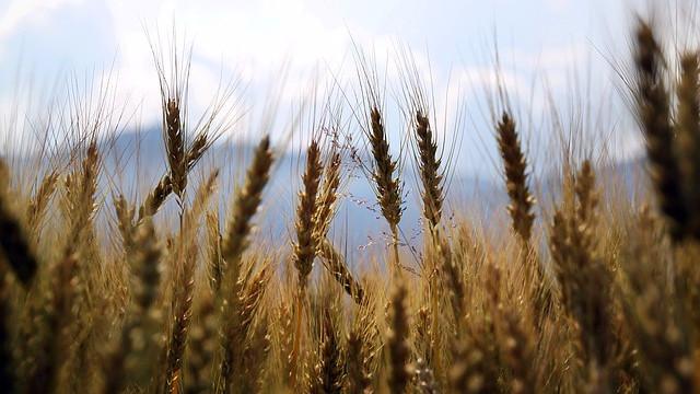 Sprøjtefri afgrøder er på fremmarch i Kenya. Foto: Pixabay