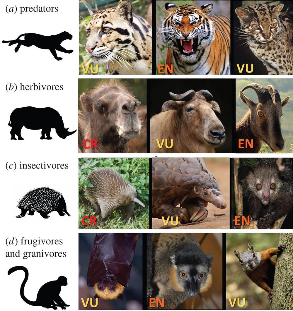 """Illustrationen viser dyr, der er truede af menneskets jagt. VU står for """"vulnerable"""" (sårbar), EN for """"endangered"""" (truet) og CR for """"critical endangered"""" (kritisk truet). Illustration: Ripple et al. (2016), Royal Society Open Science"""