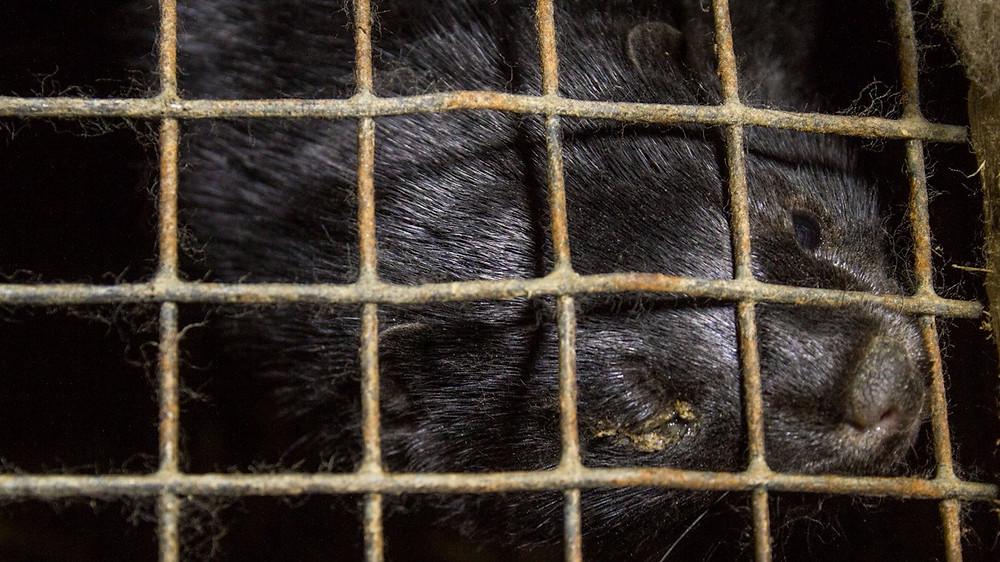 Flere og flere lande indfører nu forbud mod pelsdyravl. Her ses en mink på en farm i Letland. Foto: Dzīvnieku brīvība/flickr
