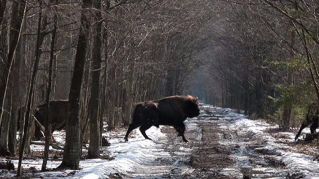 Polens miljøminister vil godkender mere fældning af Europas sidste urskov, hvor den sjældne europæiske bison lever. Foto: vlod007