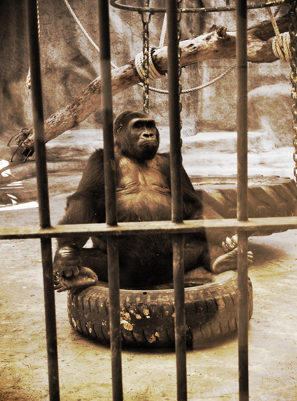 Gorillaen Bua Noi bor alene i den indendørs zoo Pata Zoo.