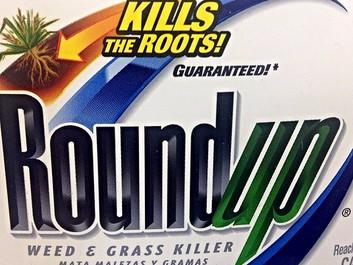Regeringen vil have GMO-majs, der kan tåle Roundup