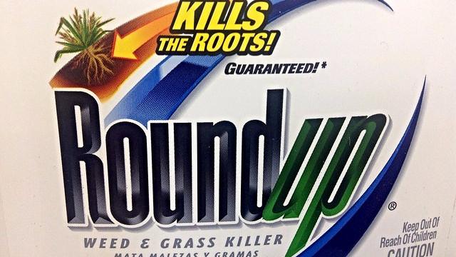 Den danske regering vil stemme for en godkendelse af en ny type GMO-majs, der kan modstå Roundups effekt på ukrudt. Foto: Mike Mozart/flickr