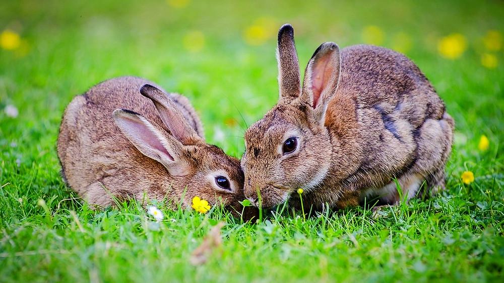 Kaninen ødelægger landmændenes græsningsarealer, og derfor spreder myndighederne nu en virus, der er dødelig for kaninen. Foto: Pixabay