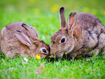 New Zealand har sluppet virus løs for at dræbe kaniner