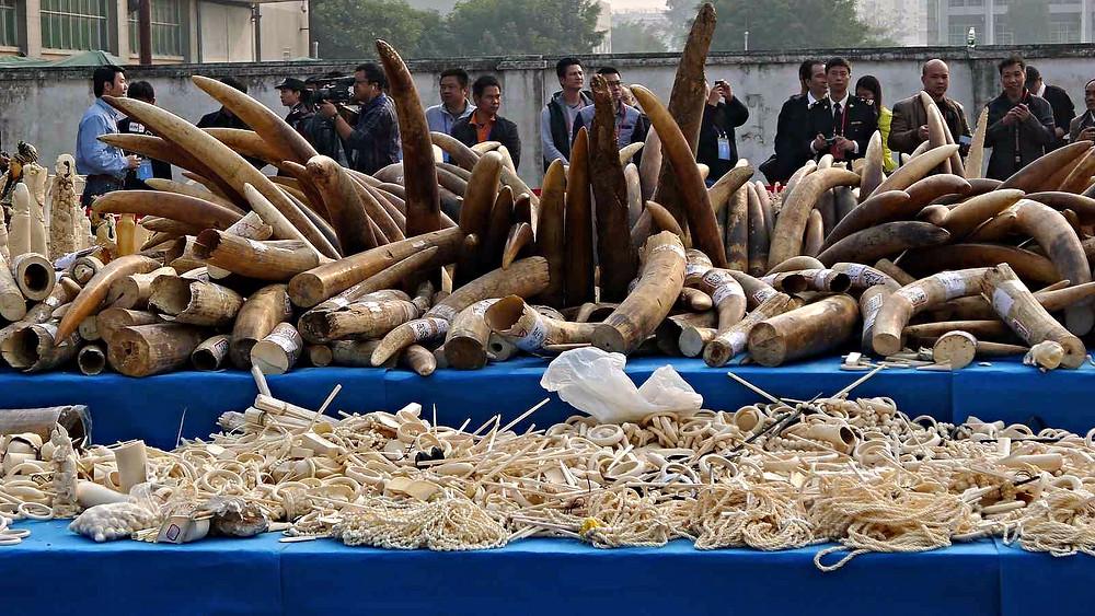 Fredag destruerede Kina over 600 kg. illegale elfenben. Billedet her er fra en lignende destruering i januar sidste år i Guanzhou. Foto: IFAW