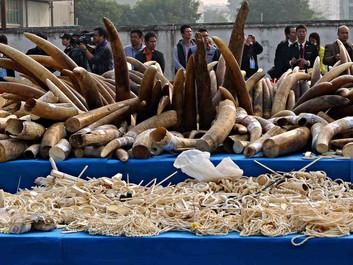 Kina vil udfase sin lovlige handel med elfenben - men der mangler noget i planen