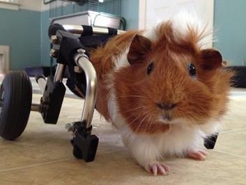 Mishandlet marsvin får en ny chance - med en kørestol