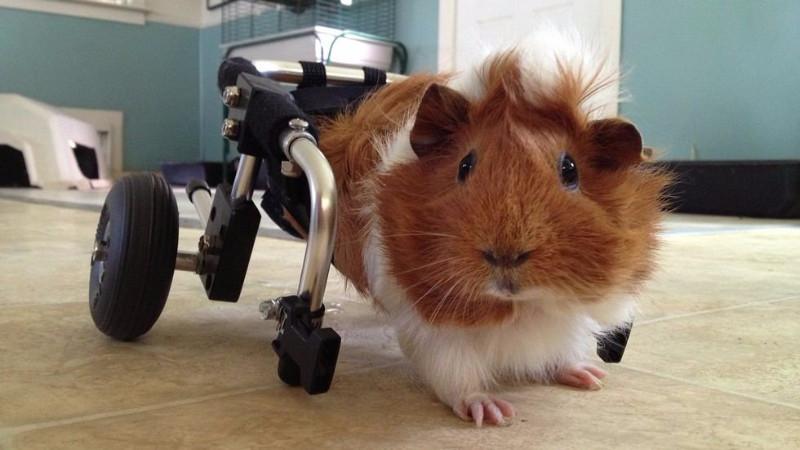 Estella er lam i bagbenene, men har fået en specialdesignet kørestol, der skal hjælpe hende med at bevæge sig. Foto: Harvest Home Animal Sanctuary