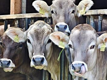 Mejerigiganter slog kvæg ihjel angiveligt for at hæve priserne