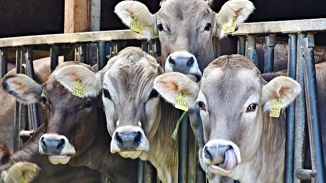 En halv million kvæg er blevet slagtet med det ene formål at holde priserne på mælk kunstigt høje. Foto: Pixabay