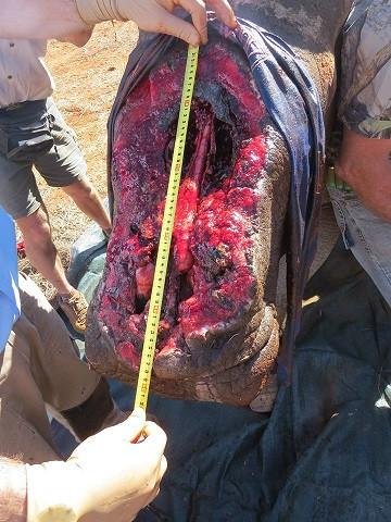 Såret måler 49x26 cm og er så dybt, at det går helt ind i næsehulen. Foto: Saving The Survivors