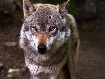Forfatter: Menneskets drab på rovdyr er en forbrydelse mod naturen