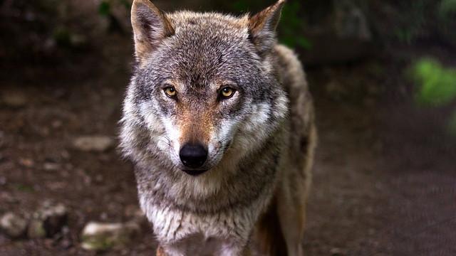 Menneskets drab på rovdyr har store konsekvenser for naturen, mener forfatteren Richard Conniff. Foto: Pixabay
