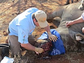 Dyrlæger kæmper for at redde maltrakteret næsehorn