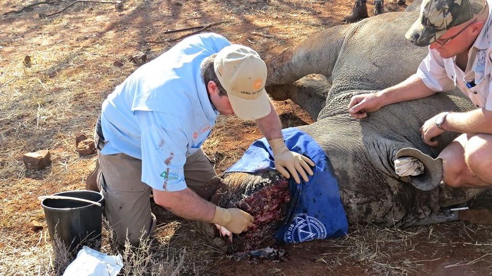 Dyrlæger fra organisationen Saving The Survivors kæmper nu for at redde et otteårigt næsehorn, efter at krybskytter har skudt ham og hakket hans horn af. Foto: Saving The Survivors