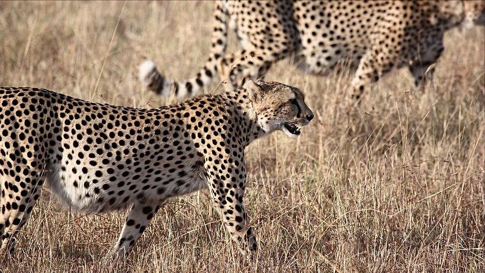 Geparden er nu næsten uddød i Asien. Foto: Pixabay