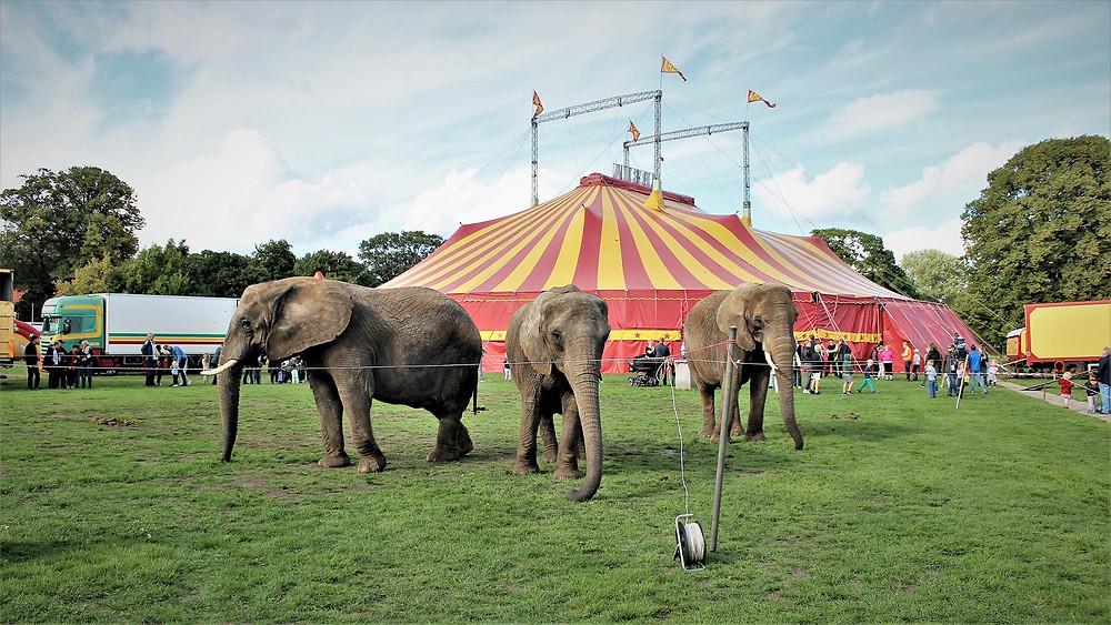 Det er over et år siden, at regeringen, Dansk Folkeparti og Socialdemokratiet indgik en aftale om forbud mod eksotiske dyr i cirkus, men cirkuselefanternes fremtid er fortsat uafklaret. Foto: Cirkus Arena