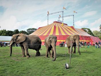 Cirkuselefanters fremtid er uafklaret på grund af valget