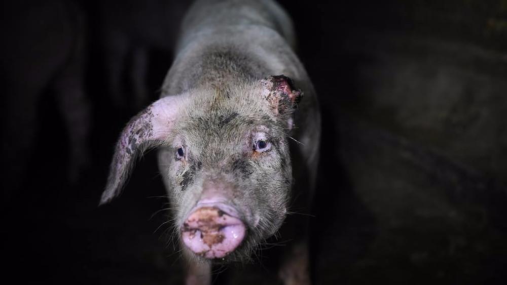 Dyrevelfærden i det industrielle landbrug er alt for ringe, mener 70 dyrlæger, som har skrevet et åbent brev om problemet. Billedet her er fra en italiensk svinefarm. Foto: Foto: Jo-Anne McArthur/We Animals