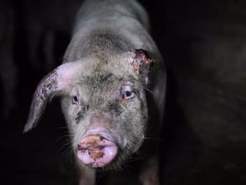 70 dyrlæger: Nu er det nok - dyrene lider i industrilandbrug