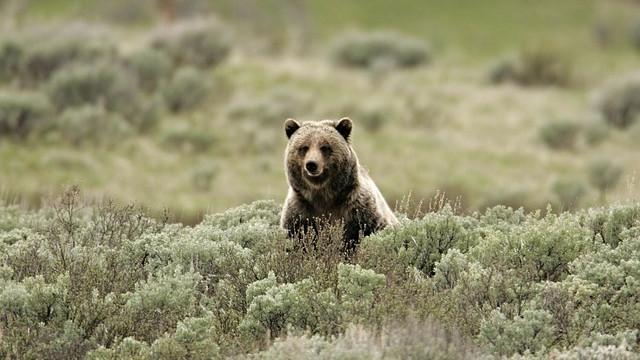 En bjørnemor risikerer at blive aflivet, efter at en mand er fundet død i Yellowstone, USA. Foto: Pixabay